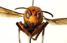 """""""Ong bắp cày sát thủ"""" châu Á xuất hiện bất thường tại Mỹ"""