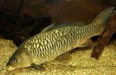 Phát hiện một nhóm dòng cá chép mới bằng phương pháp sinh học phân tử
