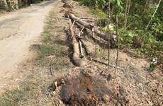 Bạc Liêu: Hàng trăm cây xanh vừa mới trồng đã bị chết khô