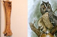 Phát hiện hóa thạch chim cú khổng lồ sống cách đây 40.000 năm