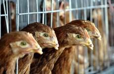 Hàn Quốc cấm nhập thịt gia cầm từ Australia do bùng phát cúm gia cầm
