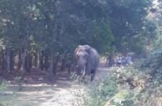 Xác minh vụ việc một người chấn thương nặng nghi do bị voi rừng quật