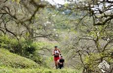 Gần 4.300 VĐV thi chạy qua những thung lũng hoa trắng ở Mộc Châu