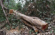 Điều tra, xử lý vụ khai thác, vận chuyển gỗ trái phép ở Mang Yang