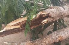 Sóc Trăng: Nữ điều dưỡng tử vòng vì bị cây phượng đổ trúng người