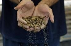 'Biến' sâu gạo thành 'siêu thực phẩm' đem lại lợi nhuận cao