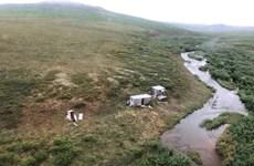 Mỹ: Giải cứu thành công người bị gấu xám tấn công tại Alaska