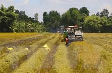 Thị trường nông sản: Giá lúa gạo khu vực ĐBSCL tiếp tục giảm