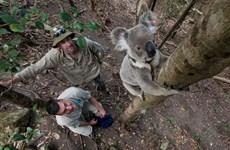 Giới khoa học Australia cảnh báo nguy cơ tuyệt chủng loài koala