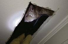 Ireland: chuột to bằng mèo trên trần nhà