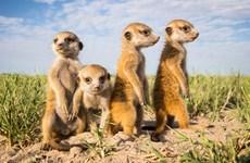 Hình ảnh dễ thương của gia đình chồn đất châu Phi