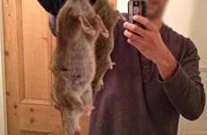 Liệu chuột khổng lồ ở Anh có ăn thịt người như tin đồn?
