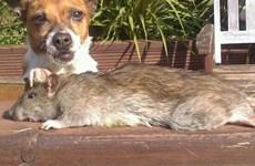 """""""Vua diệt chuột"""" sốc nặng vì chuột to gần bằng con chó nhà"""