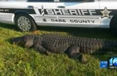 Cá sấu khổng lồ bị ôtô đâm chết khi băng qua đường cao tốc