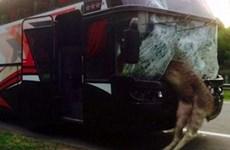 Xe buýt nát vụn phần đầu vì đâm phải con nai sừng tấm say rượu
