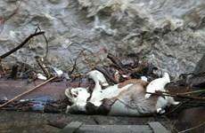 Gấu trúc quý hiếm bị chết trôi gần trạm thủy điện ở Trung Quốc