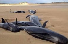 Bốn con cá voi hoa tiêu bị chết oan uổng vì mắc kẹt trên bờ