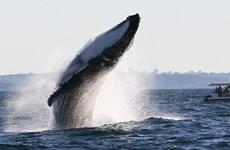 Cận cảnh cú nhảy ngoạn mục của con cá voi lưng gù nặng 40 tấn
