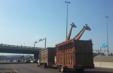 Hươu cao cổ tử vong vì va đầu vào dầm cầu trên đường cao tốc
