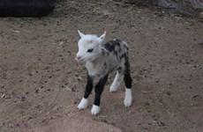 """Chú """"dê lai cừu"""" có hình dáng đặc biệt bất ngờ xuất hiện ở Mỹ"""