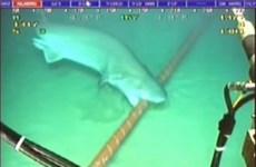 """Cá mập """"cắn đứt mạng"""" Internet khiến Google phải nâng cấp cáp quang"""