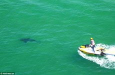 Cá mập trắng điên cuồng cắn chết người chồng ngay trước mặt vợ