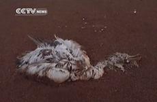Hàng trăm con chim đổ bệnh và chết bí ẩn gần một hồ nước