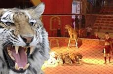 Bé gái 8 tuổi tội nghiệp bị con hổ trong rạp xiếc cắn chết