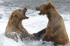 """Cận cảnh màn tỉ thí tranh giành """"địa bàn"""" của hai chú gấu nâu"""