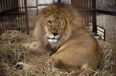 Hình ảnh đau lòng về chú sư tử bị gánh xiếc tra tấn dã man