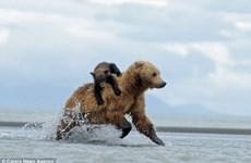 Gấu mẹ bực mình vì bị con leo lên người trong lúc săn mồi