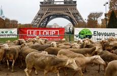 Hàng trăm con cừu tới tháp Eiffel phản đối việc bảo vệ loài sói