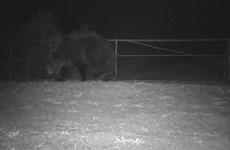 Gấu nâu xuất hiện trong khu vực nhiễm phóng xạ tại Chernobyl