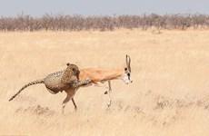 Cận cảnh màn săn linh dương nhanh như chớp của chú báo đói