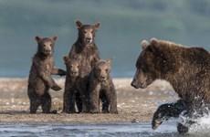Những chú gấu con ngơ ngác, sợ hãi khi thấy mẹ bắt cá hồi