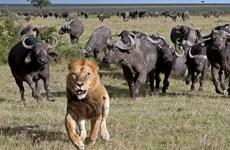 Sư tử chạy thục mạng khi bị đàn trâu rừng hung dữ truy đuổi