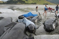 Hàng chục con cá voi hoa tiêu bị chết vì mắc cạn trên bãi biển