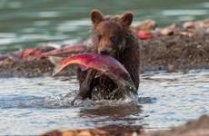 [Photo] Cận cảnh màn săn cá hồi ngoạn mục của các chú gấu con