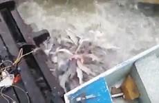 [Video] Cảnh tượng xâu xé đáng sợ của loài cá ăn thịt piranha