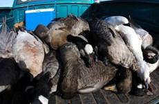 2.000 con ngỗng tuyết chết bí ẩn trên đường bay đi tìm tổ