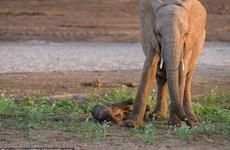 [Photo] Ngộ nghĩnh cảnh chú voi vấp ngã liên tục khi tập đi