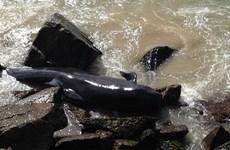 Nhiều chú con cá voi bị chết vì mắc kẹt ở tường chắn sóng