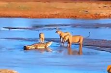 Trận chiến không khoan nhượng giữa cá sấu và 3 con sư tử đói