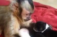 [Video] Chú khỉ sắm vai bảo mẫu dỗ dành và vuốt ve đàn chó con