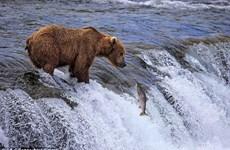 [Photo] Cận cảnh màn săn cá hồi gay cấn, thú vị của gấu nâu