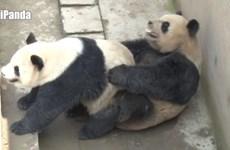 Trung Quốc: Cặp gấu trúc phá kỷ lục về thời gian giao phối