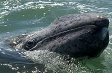 Cá voi xám gây bất ngờ với quãng đường di cư dài tới 10.880 km