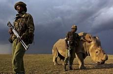 [Photo] Con tê giác đực trắng cuối cùng được canh giữ nghiêm ngặt