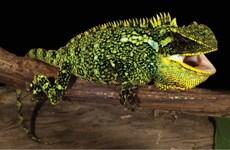 Phát hiện ba loài thằn lằn mới, sặc sỡ chưa từng được biết đến