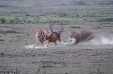 [Photo] Cận cảnh màn săn linh dương chớp nhoáng của sư tử